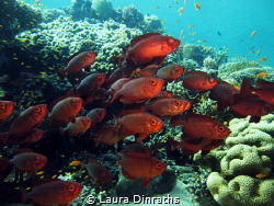 Shoal of common bigeyes under a table coral by Laura Dinraths