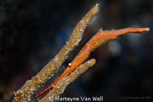 A Tozeuma shrimp with Eggs taken at Tandurusa with Canon ... by Marteyne Van Well