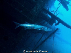 A Great Barracuda (Sphyraena barracuda) chills out at the... by Annemarie Kramer