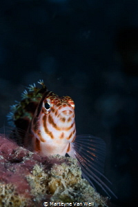 Fish with Attitude. Taken at Dive Site Hairball I with Ca... by Marteyne Van Well