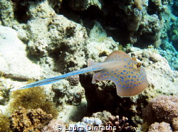 Blue spotted stingray swimming away by Laura Dinraths