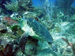 Friendly turtle, Grand Cayman. by Renato Costagliola