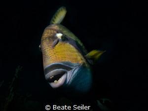 Triggerfish by Beate Seiler