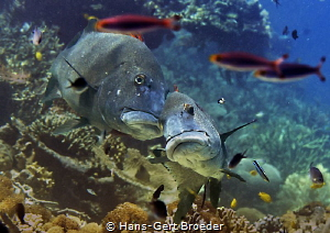 Giant sweetlip