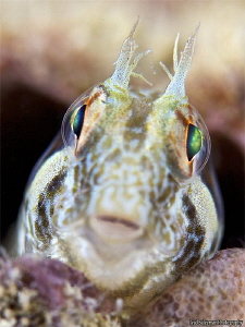Blenny Portrait This shot was the last shot from my last... by Iyad Suleyman