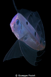 Third image of the ribbonfish by Giuseppe Piccioli