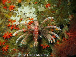 Christmas Lionfish by Carla Mcelroy