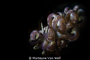 Phyllodesmium colemani nudi at Nudi Falls in Lembeh. Take... by Marteyne Van Well