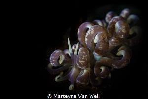 Phyllodesmium colemani nudi at Nudi Falls in Lembeh. Take... by Marteyne Van Well