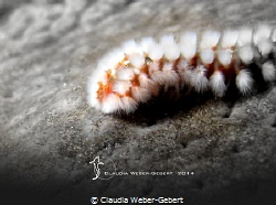 Fireworm ...on the moon by Claudia Weber-Gebert