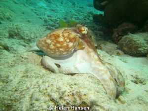 Common Octopus by Helen Hansen