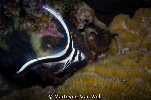 A juvenile spotted drum (not cropped) taken with Canon EO... by Marteyne Van Well
