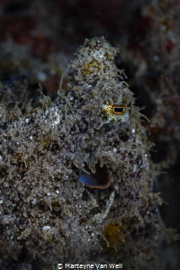 An Algae Octopus at Lembeh on night dive taken with Canon... by Marteyne Van Well