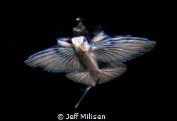 Juvenile flying fish by Jeff Milisen