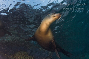 Female Sea Lion close up by Alejandro Topete