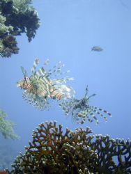Lion Fish - Sharm by Ewan Chesser