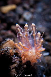 Would love to get help with an ID on this nudi. Looks sim... by Kip Nead