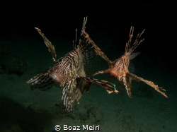 Lionfish are active at night and are busy hunting. They a... by Boaz Meiri