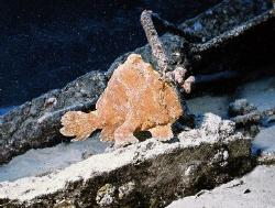 "Very sandy ""Yellow Frog Fish"" at ""Utility Landing Craft"" ... by Robert Fleckenstein"