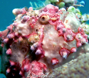 Painted Frogfish, Anilao, Philippines by Marylin Batt