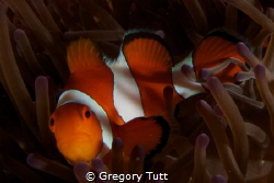 Clown fish on New Year's day... apparently he did not enj... by Gregory Tutt