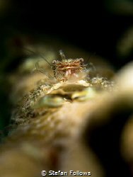 Greetings...! Porcelain Crab - Porcellanidae sp. Mae Haad... by Stefan Follows