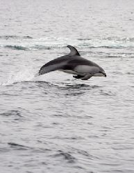Whitesided Dolphin acrobat trying to steady on a moving b... by Todd Mintz