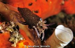 Gnathophyllum elegans by Salvatore Ianniello