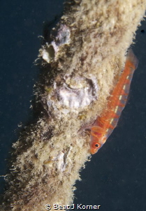 That's where that goby spends his life on! by Beat J Korner
