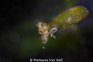 A lucky shot of a pygmy squid having caught a shrimp. Tak... by Marteyne Van Well