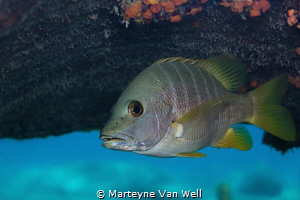 A snapper posing for the camera while hiding under the je... by Marteyne Van Well