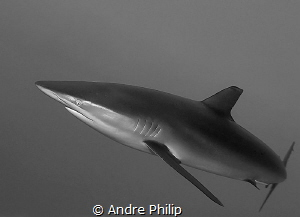 dynamic and elegance - a silky shark in the red sea by Andre Philip