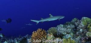 Shark by Julio Sanjuan
