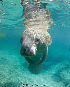 Manatee observing at 3 Sisters spring last winter by Ellen Cuylaerts