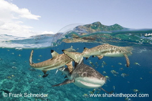 half-and-half photo (split shot) of reef sharks; Nikon D3... by Frank Schneider