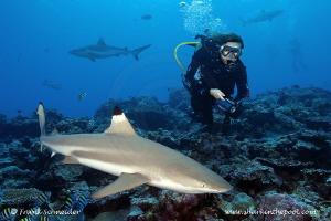 Model and blacktip reef shark; Model: Ursula; Nikon D3, Z... by Frank Schneider