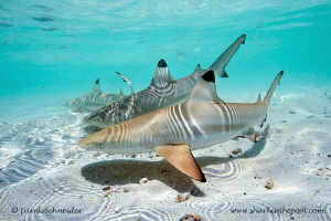 Blacktip reef baby sharks; Nikon D3, Zoom f2.8/14-24 mm, ... by Frank Schneider