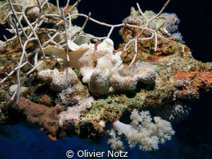 I discovered this frogfish but had the wrong lens with me... by Olivier Notz