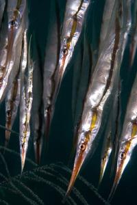 Razor fish. by Mehmet Salih Bilal