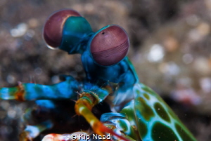 There is something about the eyes of peacock mantis shrim... by Kip Nead