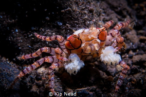 These boxing crabs move around so fast, it took quite a f... by Kip Nead