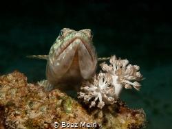 Sand Diver (Lizard Fish) by Boaz Meiri
