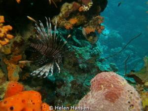 Lion Fish by Helen Hansen