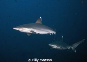 Silvertips on Patrol San Benedicto Island, Revillagigedo... by Billy Watson