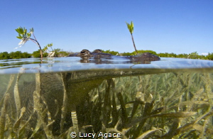 I carefully approached this Saltwater Crocodile in a shal... by Lucy Agace