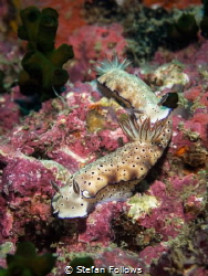 Follow me I'm right behind you...! Nudibranch - Risbecia ... by Stefan Follows