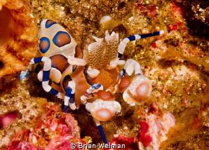 Juvenile Harlequin Shrimp by Brian Welman