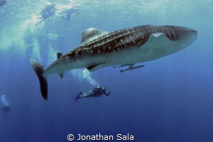 Swimming with the king by Jonathan Sala