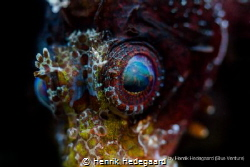 Eye of the Dwarf Lion Fish by Henrik Hedegaard