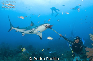Diving with Sharks by Pedro Padilla